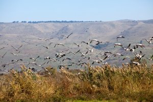 hula valley cranes