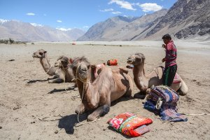 Bactrian Camels - Nubra Valley